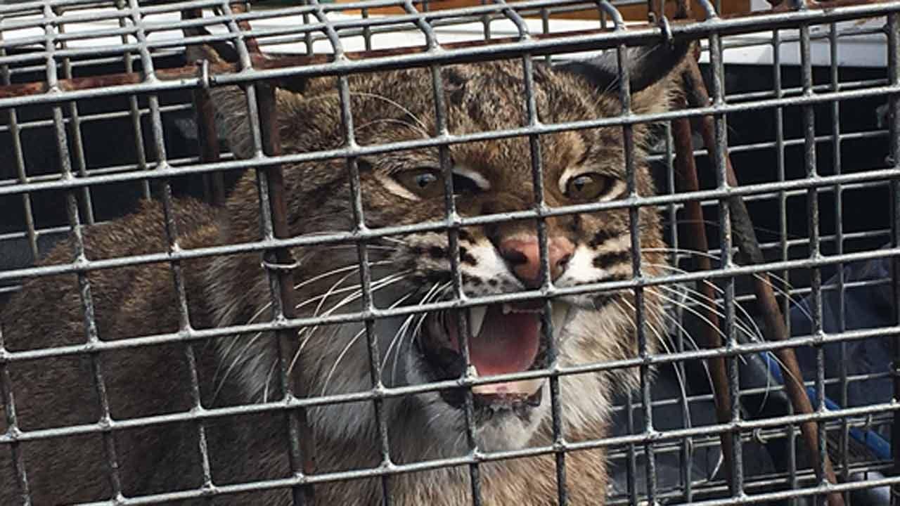 Bobcat Surprises Staff At Sapulpa Herald