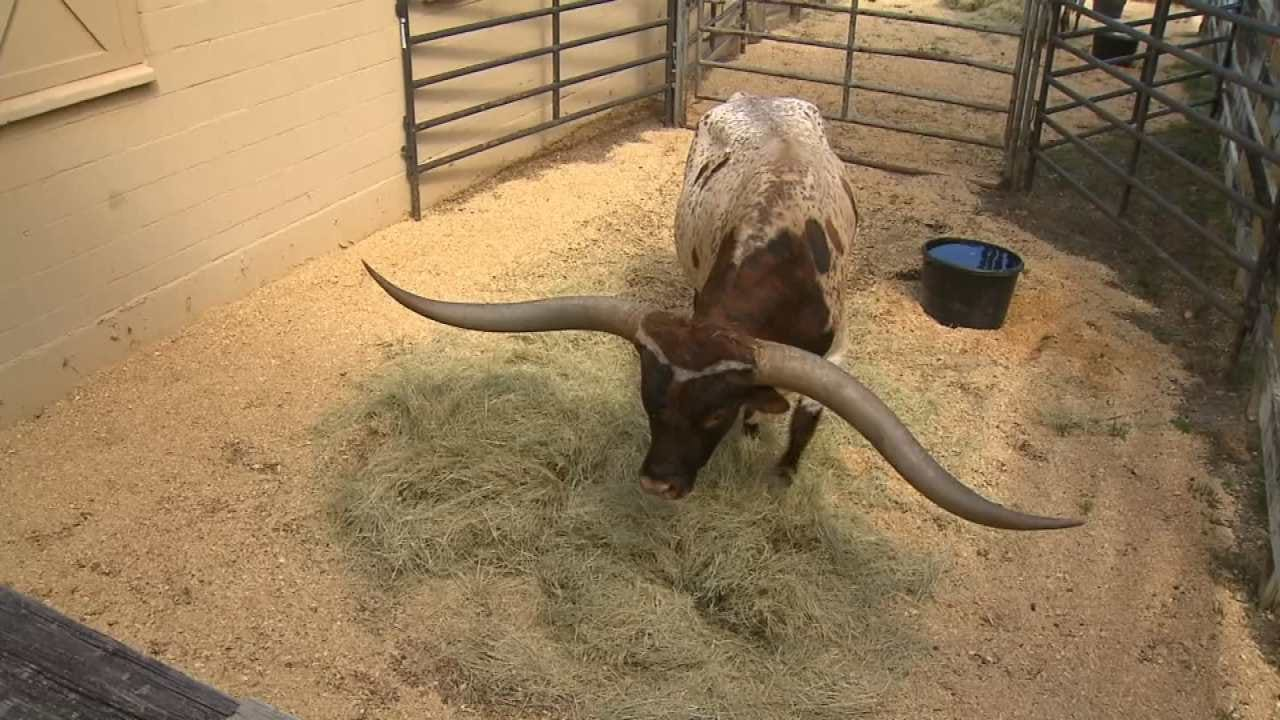 Record-Breaking Oklahoma Longhorn Sells For $165,000