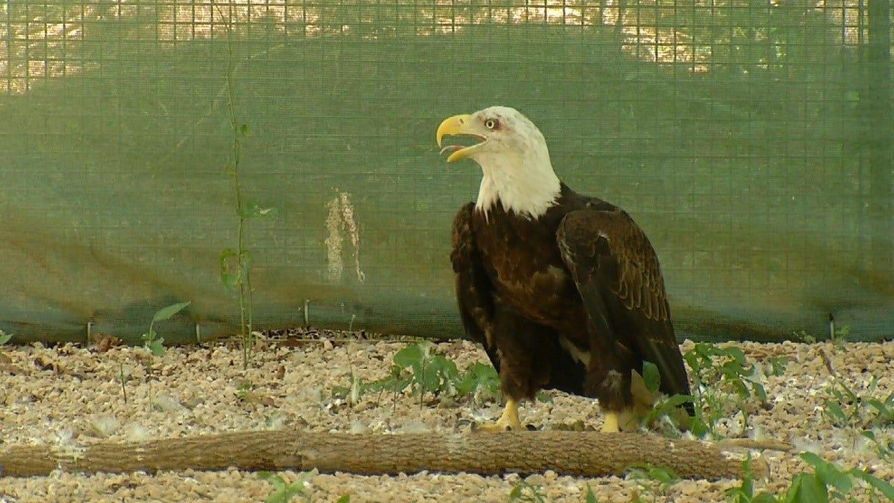 Bald Eagles Beloved At Claremore Ranch