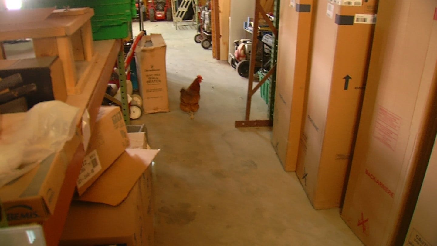 Chicken Makes Home Out Of Coweta Business
