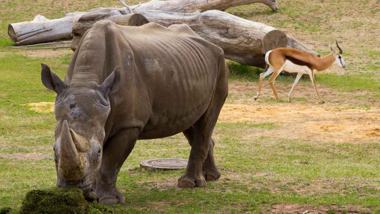 Buzbie The Tulsa Zoo Rhino Dies