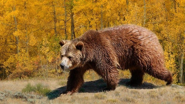 U.S. Won't Restore Grizzly Bear Protections Near Yellowstone National Park