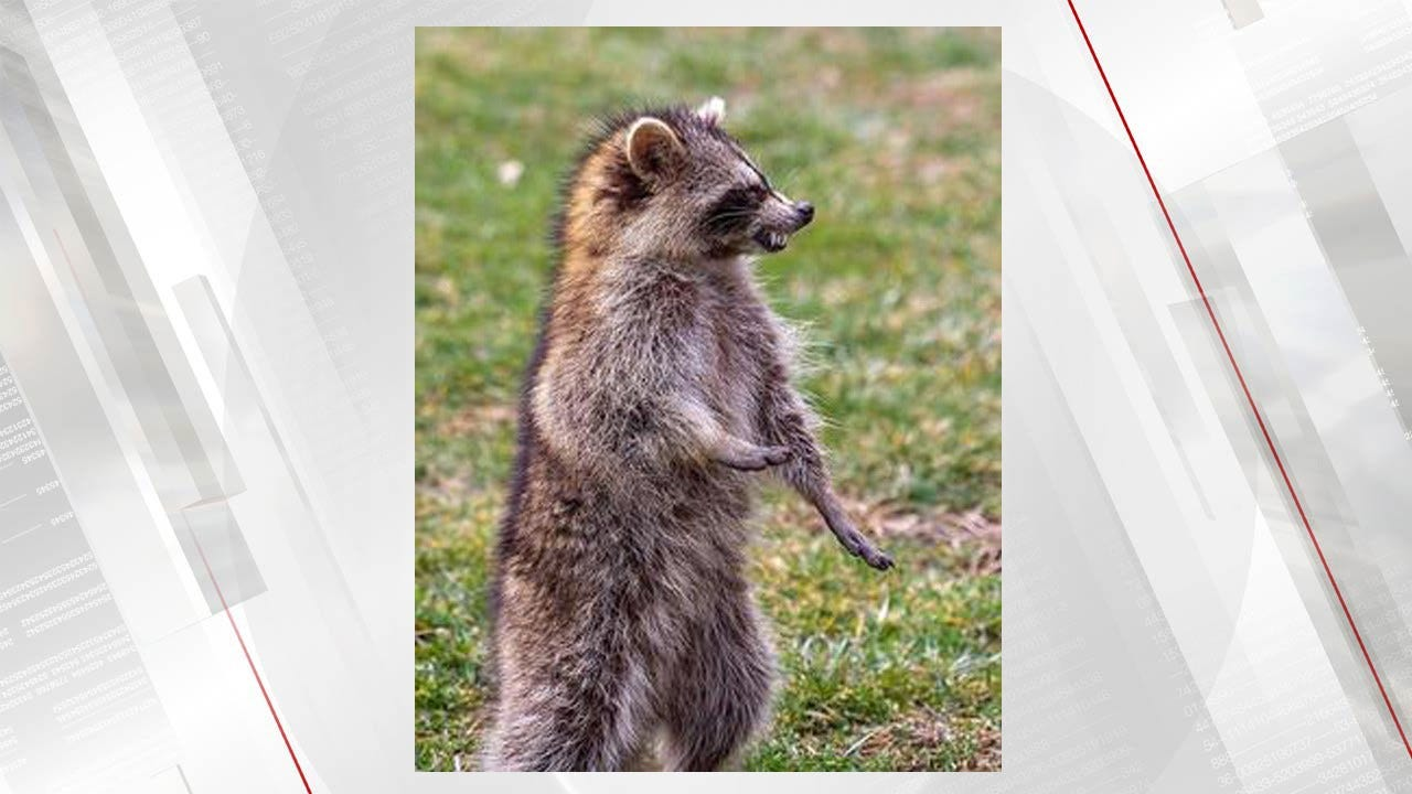 """""""Zombie-Like"""" Raccoons In Ohio, Authorities Trying To Determine The Cause"""