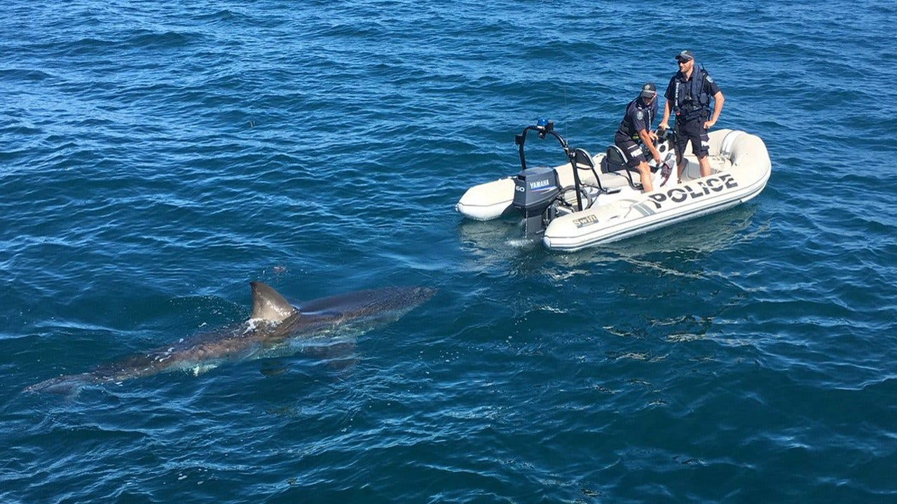 Think They Need A Bigger Boat! Large Great White Circles Australian Police Boat