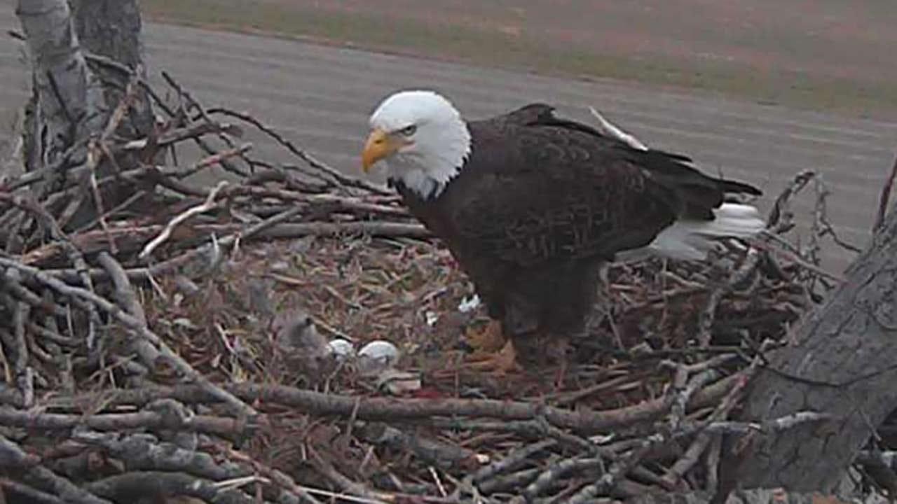 Two Chicks Hatch On Bald Eagle Cam Near Vian