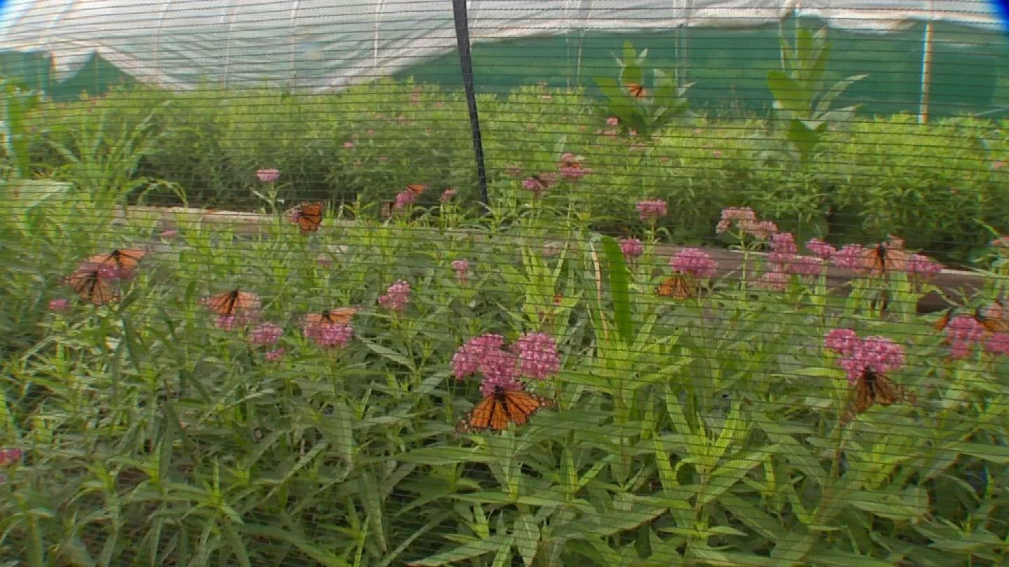 Owners Of Tulsa Butterfly Farm Hoping To Raise Native Population