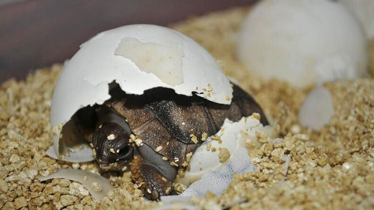 25 Aldabra Tortoises Hatched At Tulsa Zoo