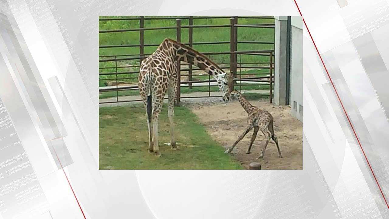 Tulsa Zoo Welcomes New Baby Giraffe