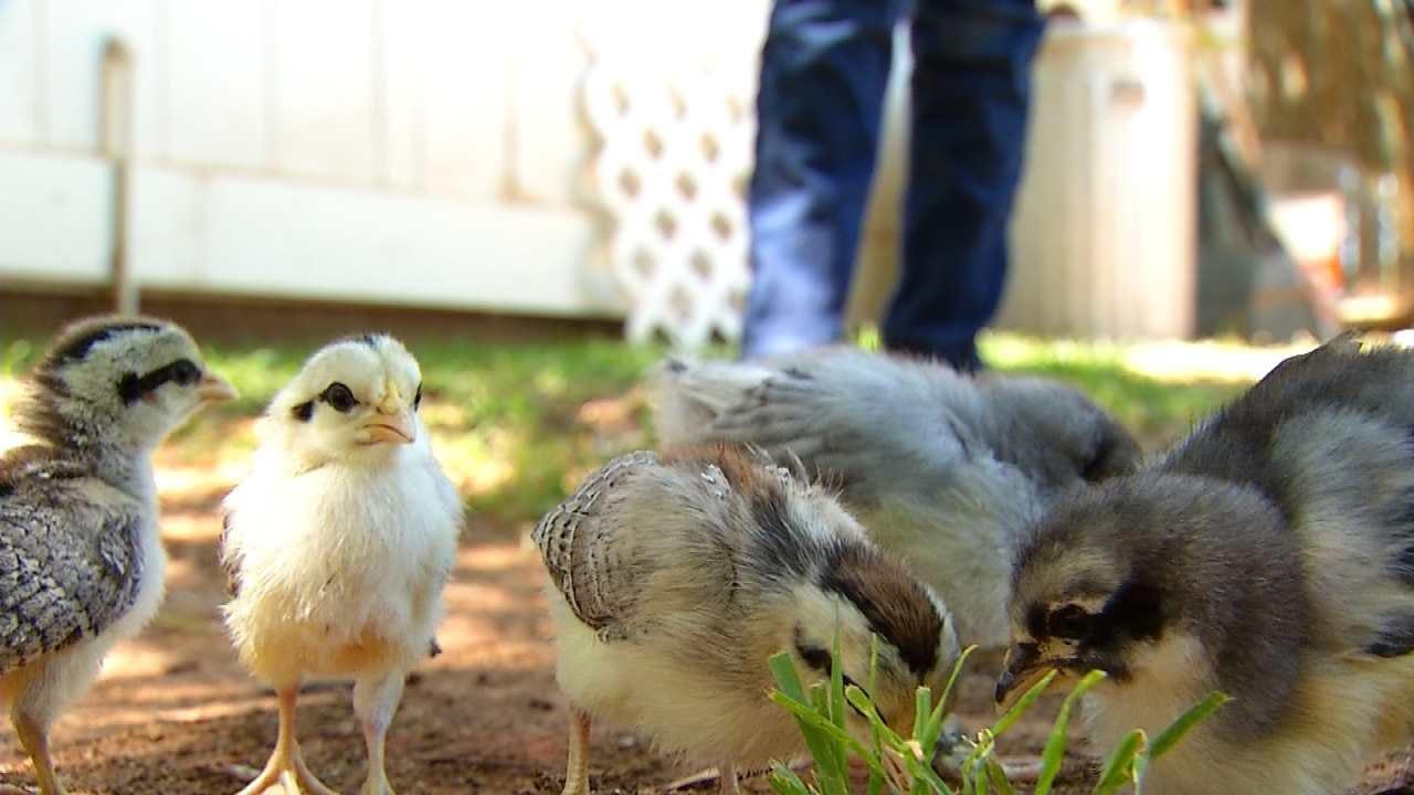 CDC: Backyard Flocks Sicken People In 44 States, Including Oklahoma