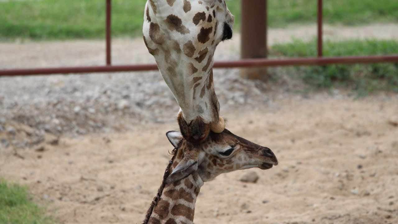 Tulsa Zoo: New Giraffe Calf Is A Boy!