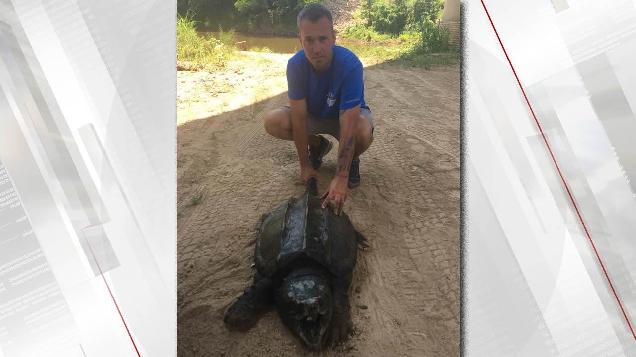 Huge Alligator Snapping Turtle Found In Southeast Oklahoma