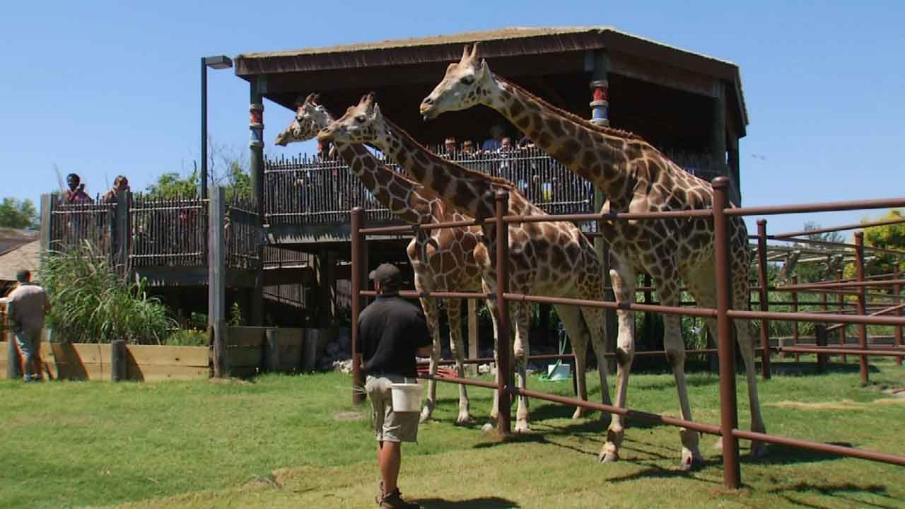 Tulsa Zoo Celebrates National Giraffe Day By Announcing New Arrival