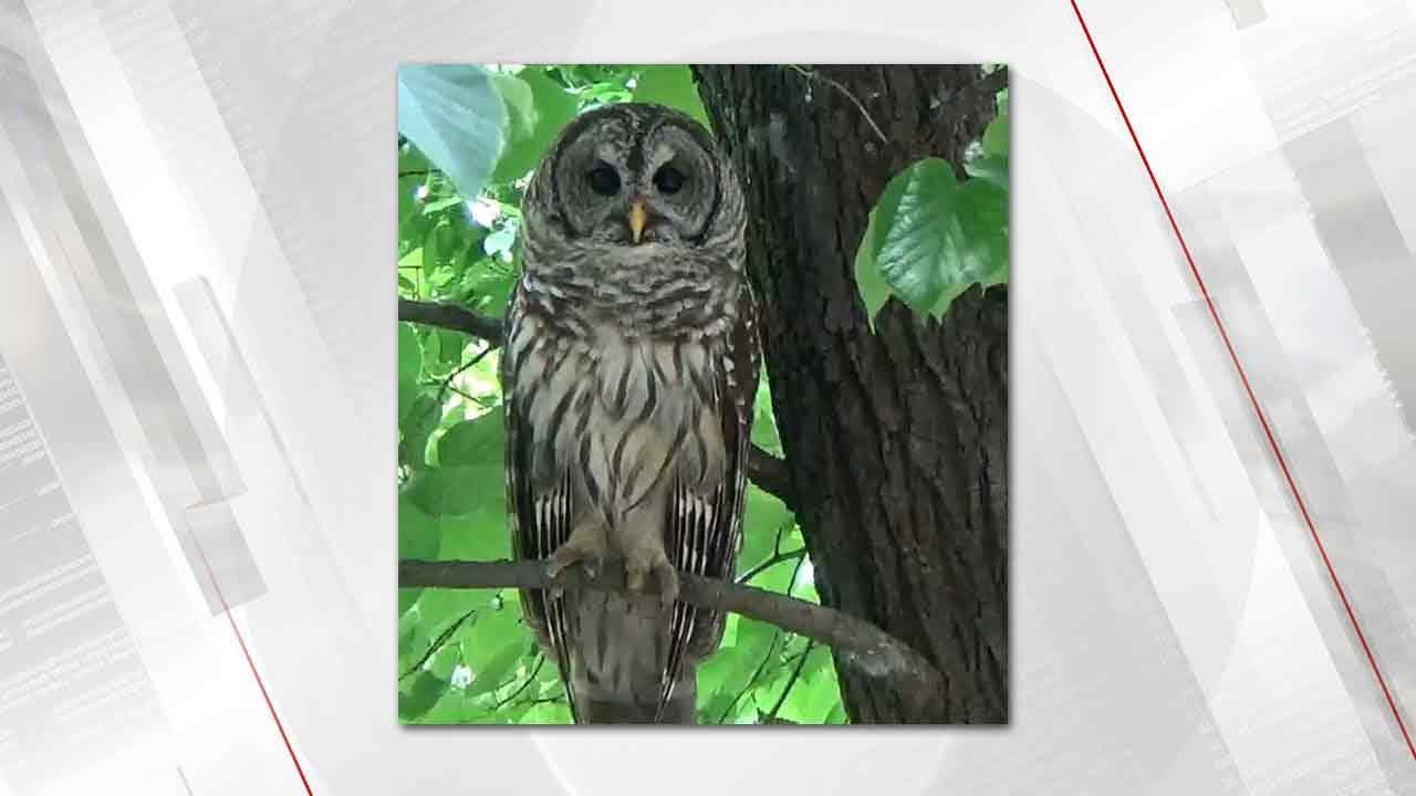 Sofie, Famous Barred Owl Of Midtown Tulsa, Dies