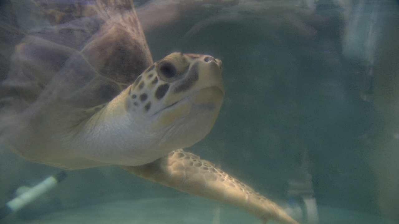 Oklahoma Sea Turtle To Leave For Texas