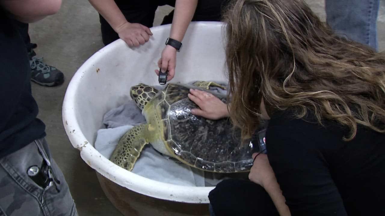 Oklahoma Sea Turtle Settling Into New Texas Home