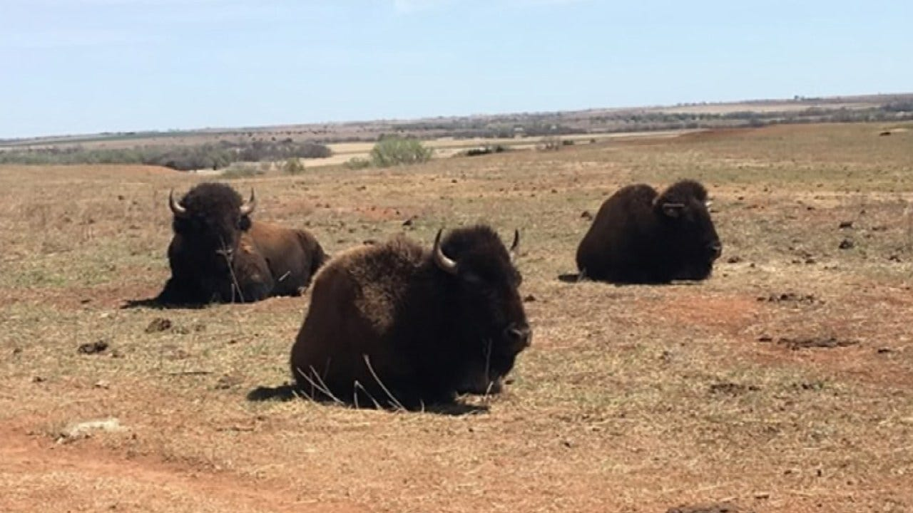 Bison Herd Being Auctioned By State Of Oklahoma