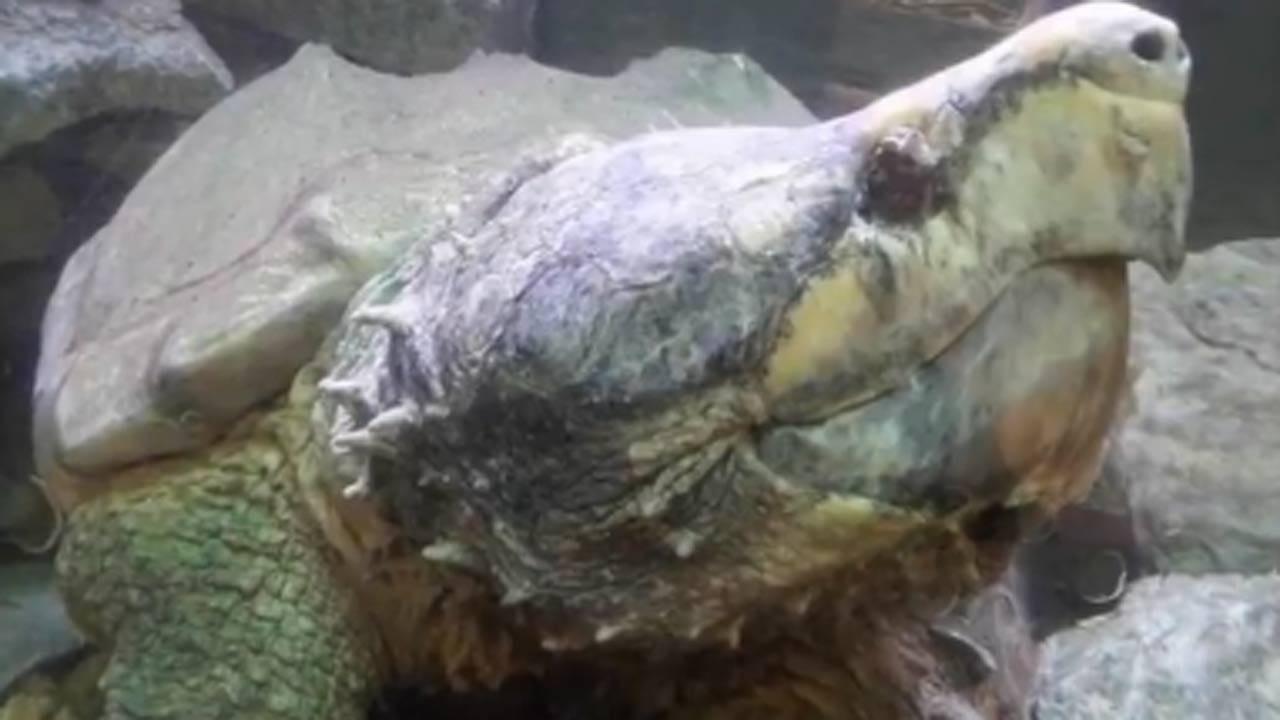 Hugo, Tulsa Zoo's Alligator Snapping Turtle, Passes Away