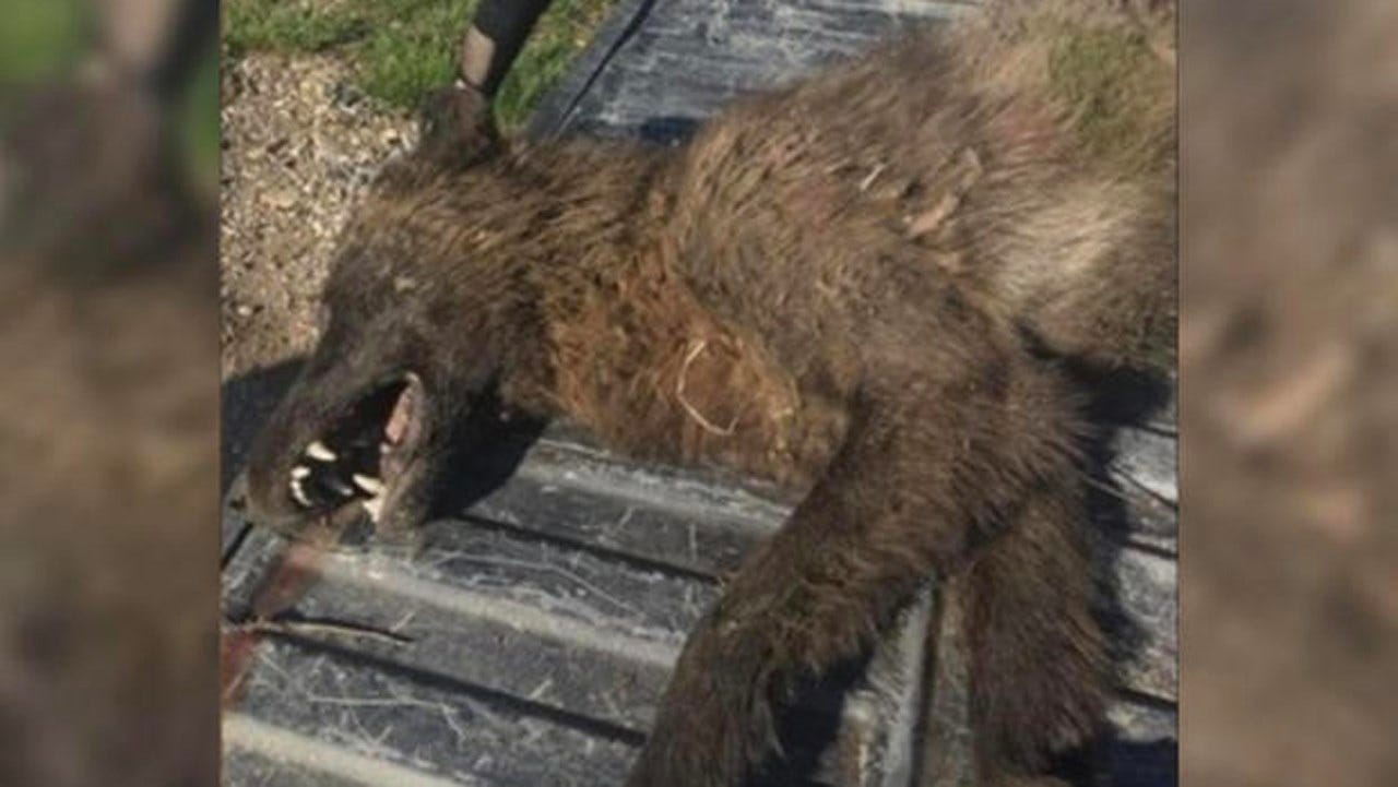 Mysterious Furry Creature Shot In Montana, Puzzling Wildlife Experts