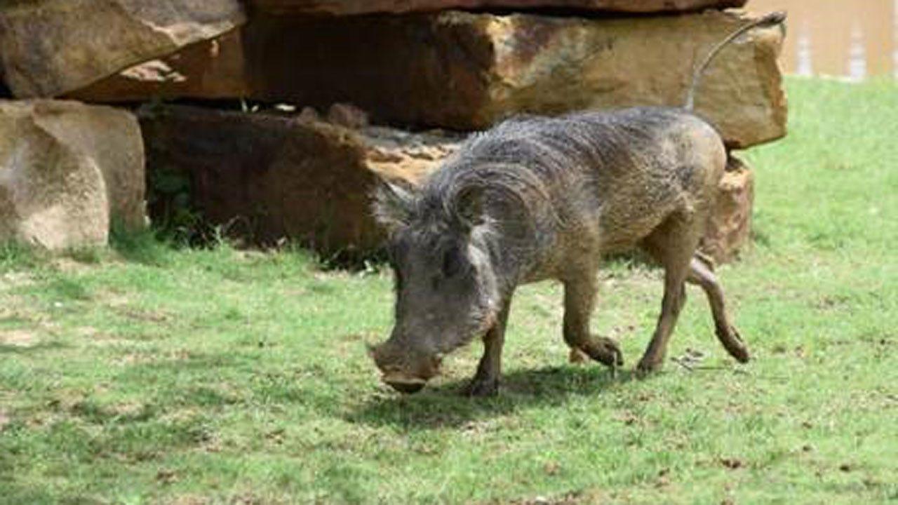 Tulsa Zoo Welcomes Warthog Sisters