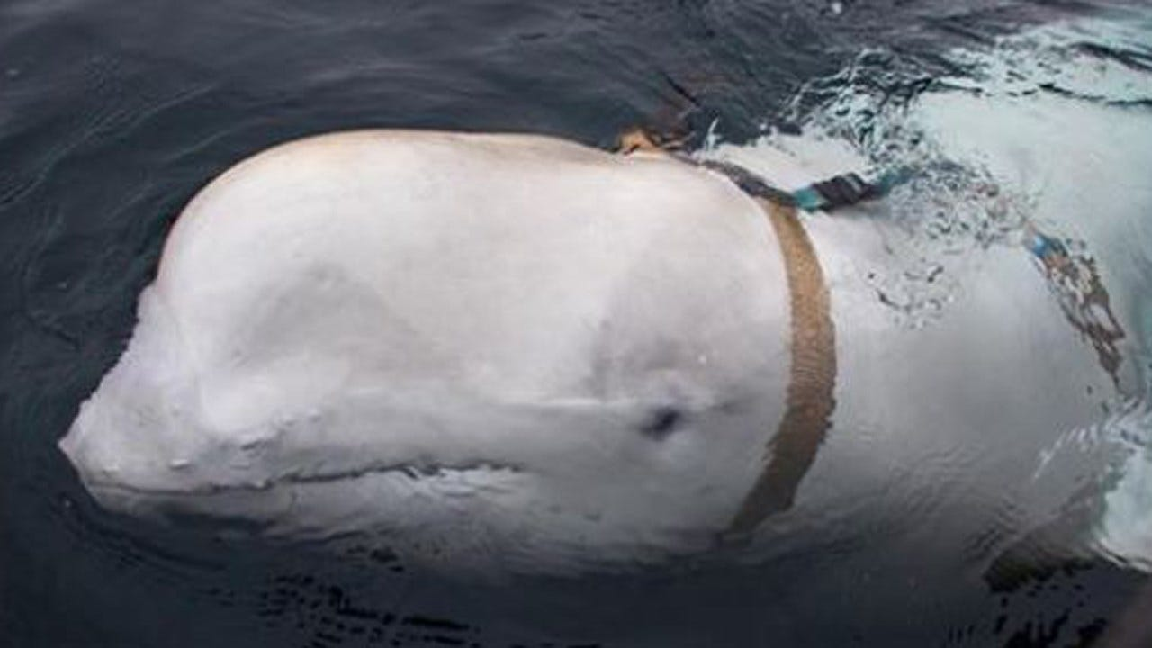 Russian Trained Whales May Be Harassing Norwegian Fishermen