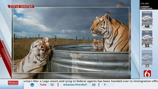 National Geographic Releases 'Best Pictures Of 2019,' Includes Photo Of Rescued Tigers From Oklahoma