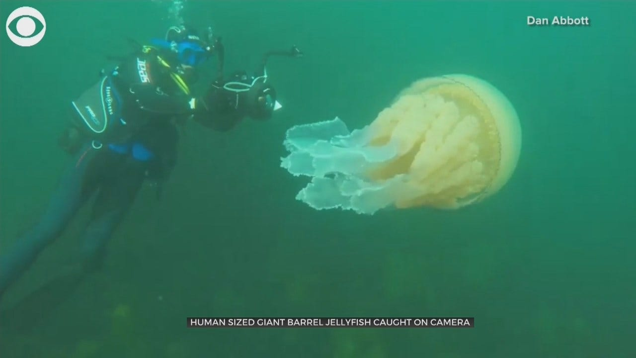 Human-Sized Giant Barrel Jellyfish Spotted By Divers Off U.K. Coast