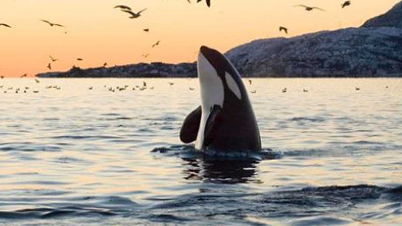 Canada's 'Free Willy' Bill Bans Keeping Orcas, Dolphins In Captivity