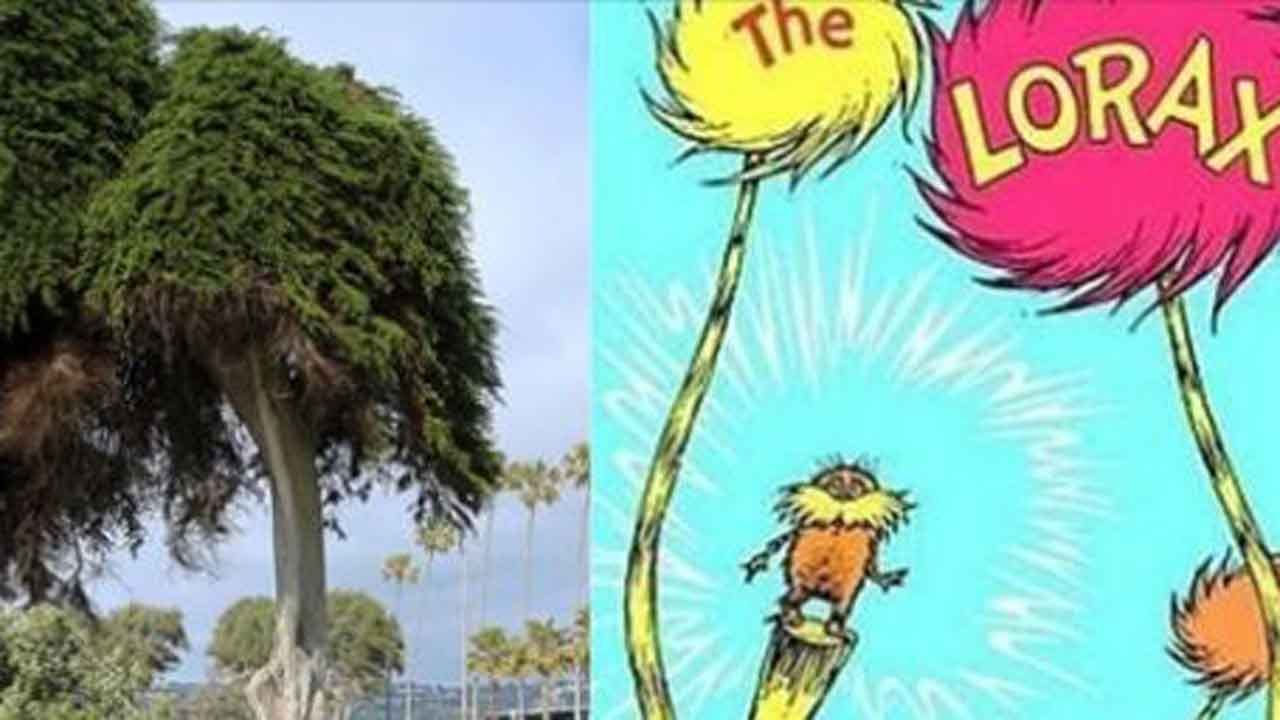 Tree That Inspired Dr. Seuss' 'The Lorax' Has Fallen Over