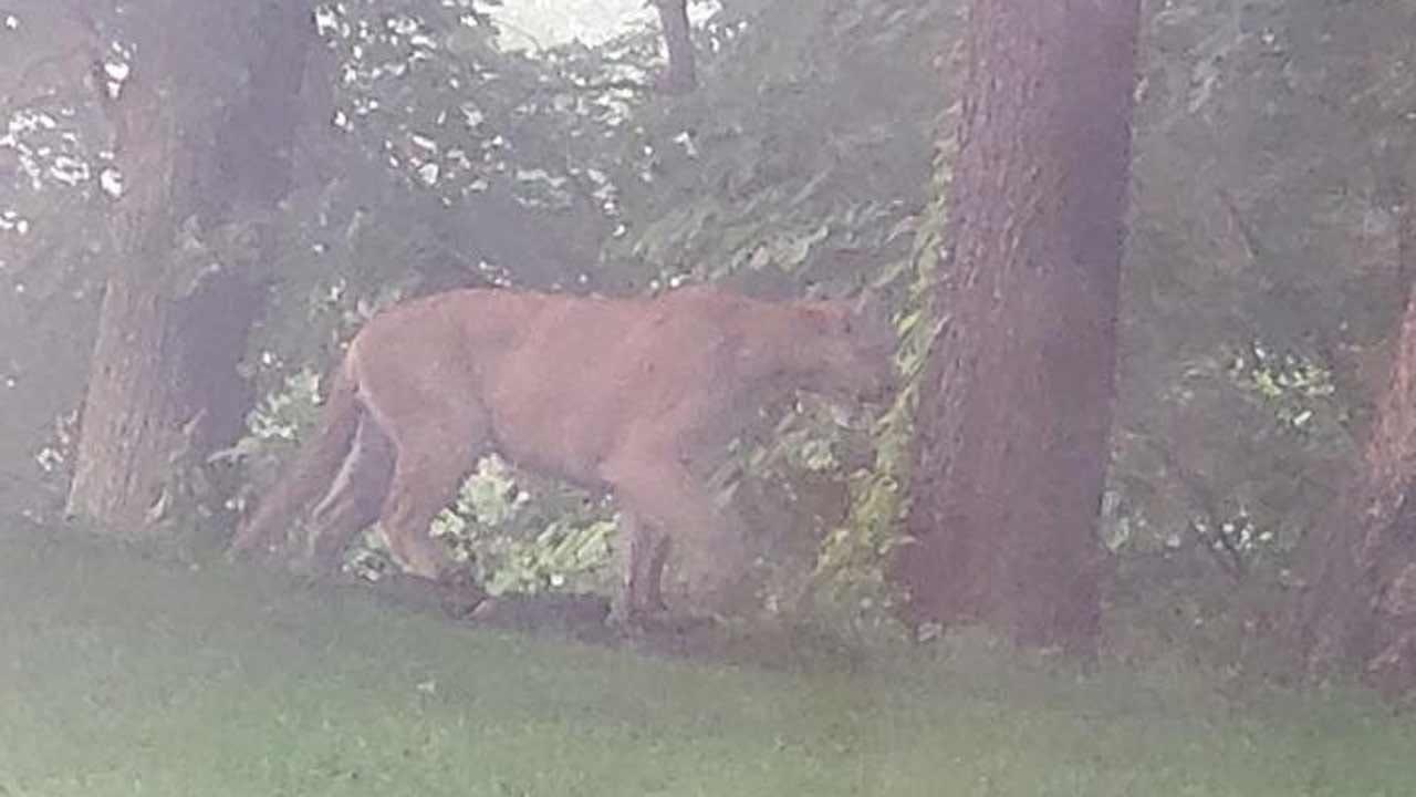 Videos Show Mountain Lion Is Sticking Around Lake Hudson