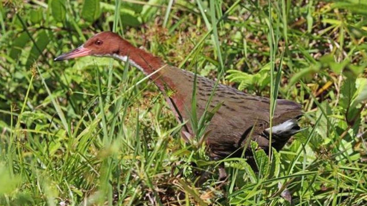Extinct Bird Species Evolved Back Into Existence, Study Says