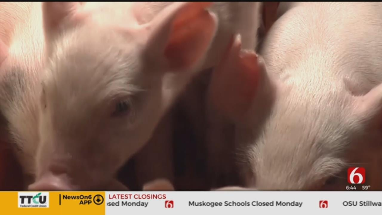 China's Pig Disease Outbreak Pushes Up Global Pork Prices