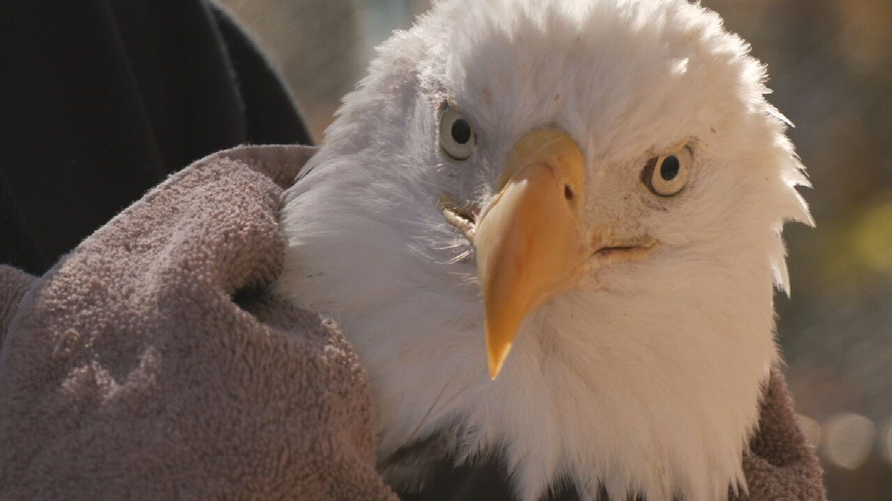 Bald Eagle Released After Being Struck By A Car In Muskogee