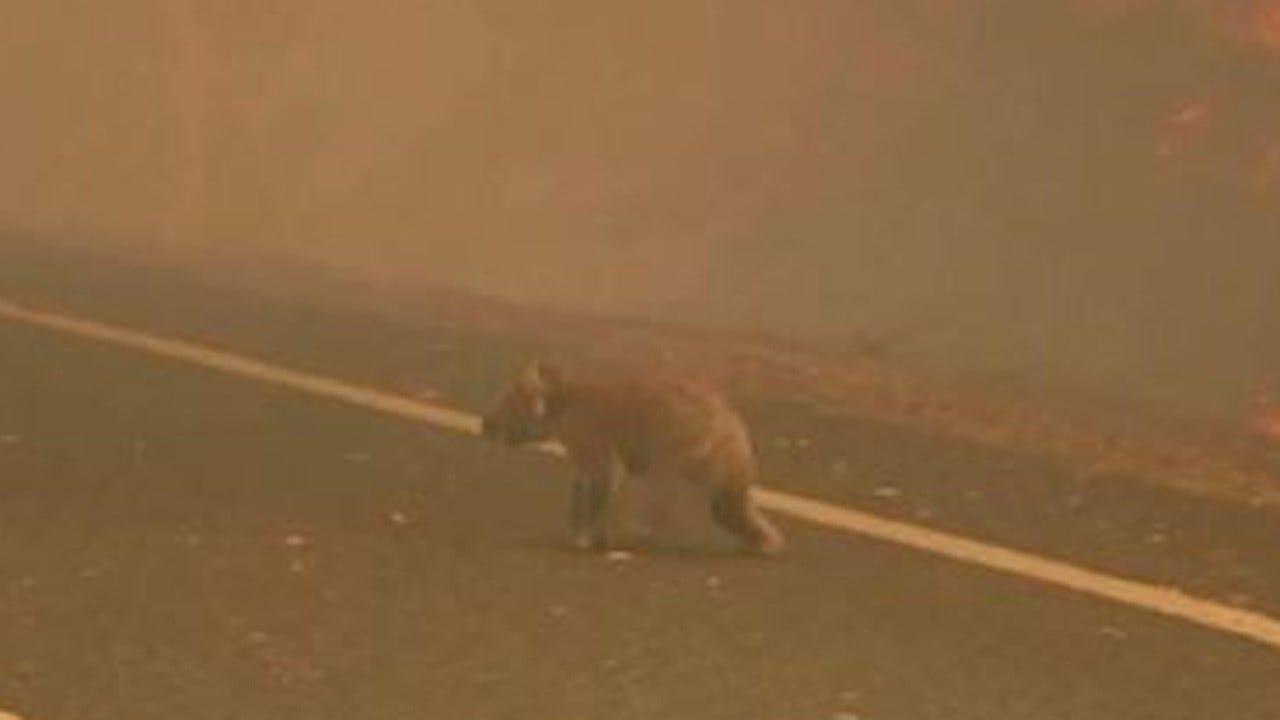 Woman Risks Her Life, Rescue Koala From Fire In Australia