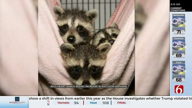 Wild Heart Ranch Seeing Surplus of Raccoon Orphans, Planning Expansion