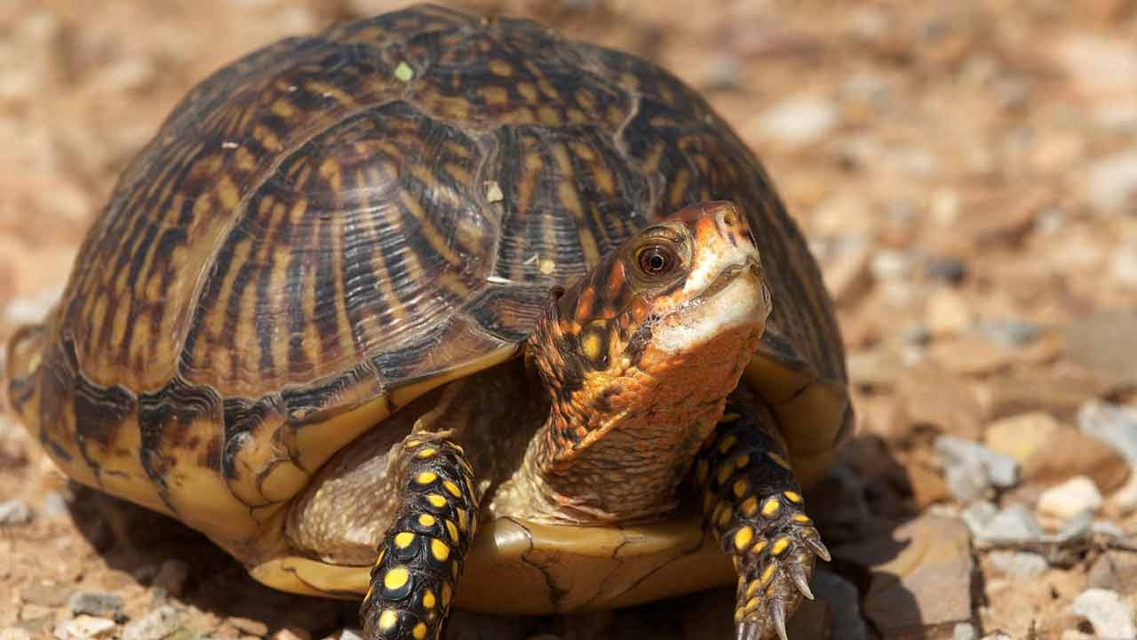 New Jersey Man Pleads Guilty To Smuggling Box Turtles From Oklahoma