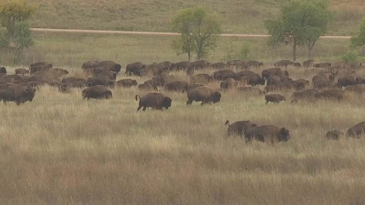 20,000 Attend 54th Buffalo Round-Up In South Dakota