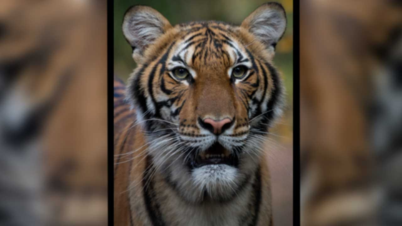 Tiger Tests Positive For Coronavirus At New York City Zoo, 1st Case Of Its Kind In US