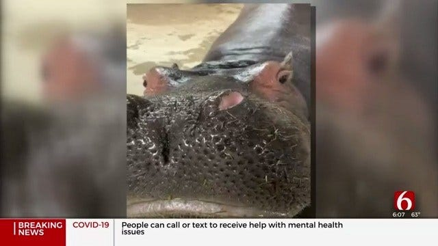 Fiona The Hippo To Make 'Kiss Paintings' Live On Wednesday