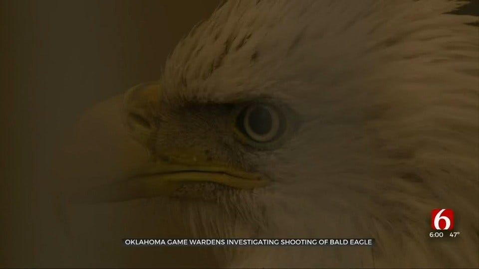 Bald Eagle Living At Tulsa Zoo After Intentionally Shot In Ottawa County, Vet Says