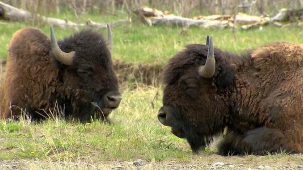 Yellowstone National Park Begins Capturing Bison For Possible Slaughter