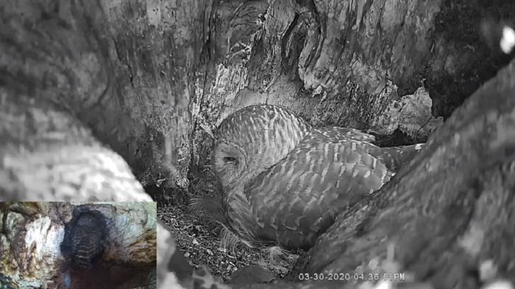 WATCH: Mama Owl In Midtown Tulsa Incubates Eggs
