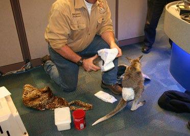 Kangaroo hops around NEWS 9