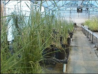 Researchers turn to switchgrass for biofuel