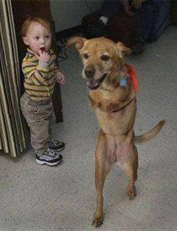 Two-legged dog walks