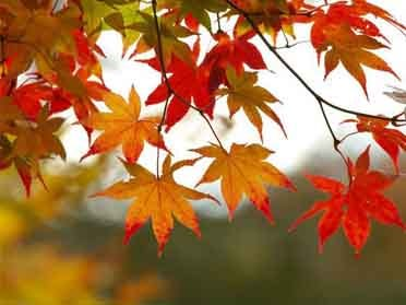 Colorful study probes climate change, fall foliage