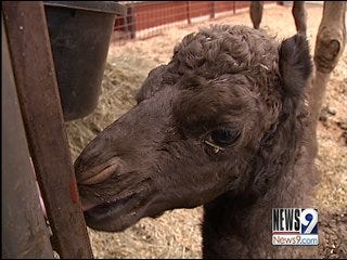 Edmond Boys Welcome Baby Camel