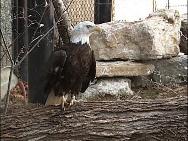 Watch Bald Eagle Nest in Real Time