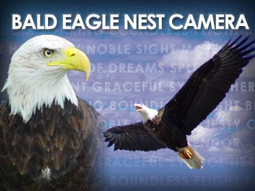 Eaglet Hatched On Camera Leaves Its Nest