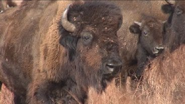 American Bison Still Vital to Oklahoma Tribes