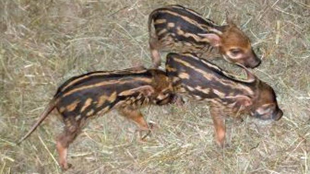 'Pigglesworth' Family Announces New Births At OKC Zoo